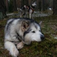 Pie sniega suņiem