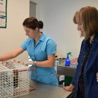 Tehnikuma veterinārajā klīnikā sterilizē kaķeni no Strenču psihoneiroloģiskās slimnīcas kaķu kolonijas